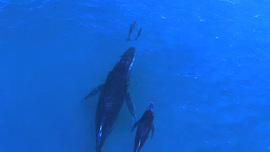 Video: Mother and baby whale swim with mother and baby dolphin - Telegraph