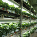 How a Japanese Vertical Farm is Growing Strawberries using LED for the First Time - AgFunderNews