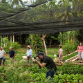 A Rush of Americans, Seeking Gold in Cuban Soil - The New York Times