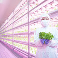 Japanese food producers harvest the benefits of vertical farming with special LED lighting - Newsroom Philips Lighting